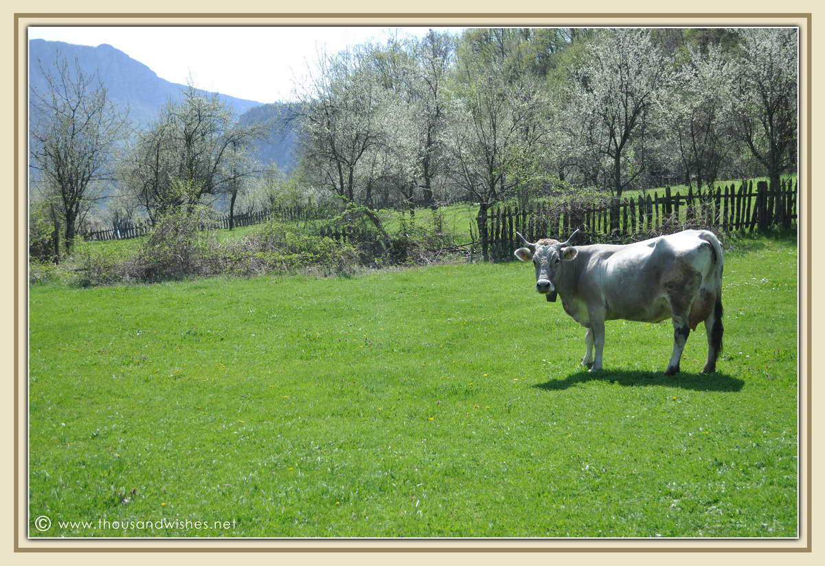 05_dubova_romania_cow