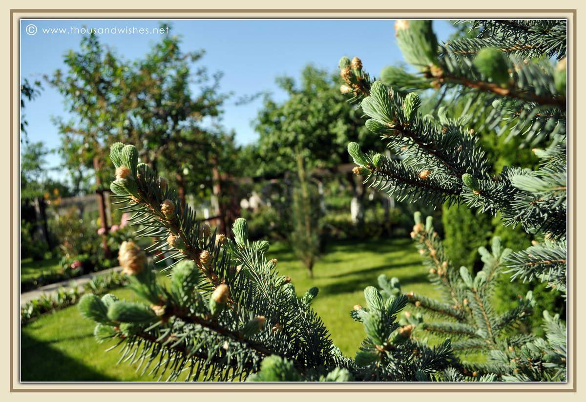 26_garden_fir