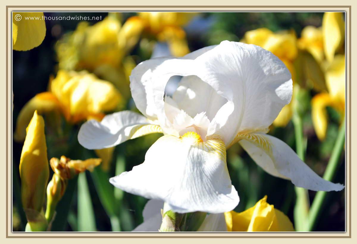 28_garden_yellow_iris