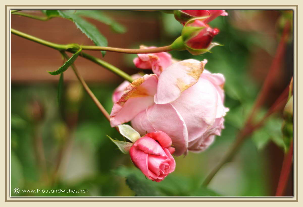 02_pink_roses
