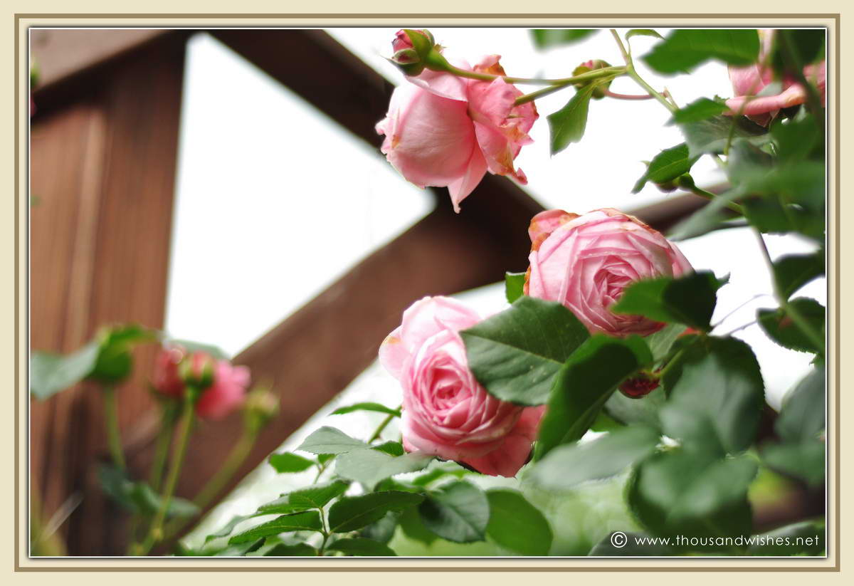 04_pink_roses