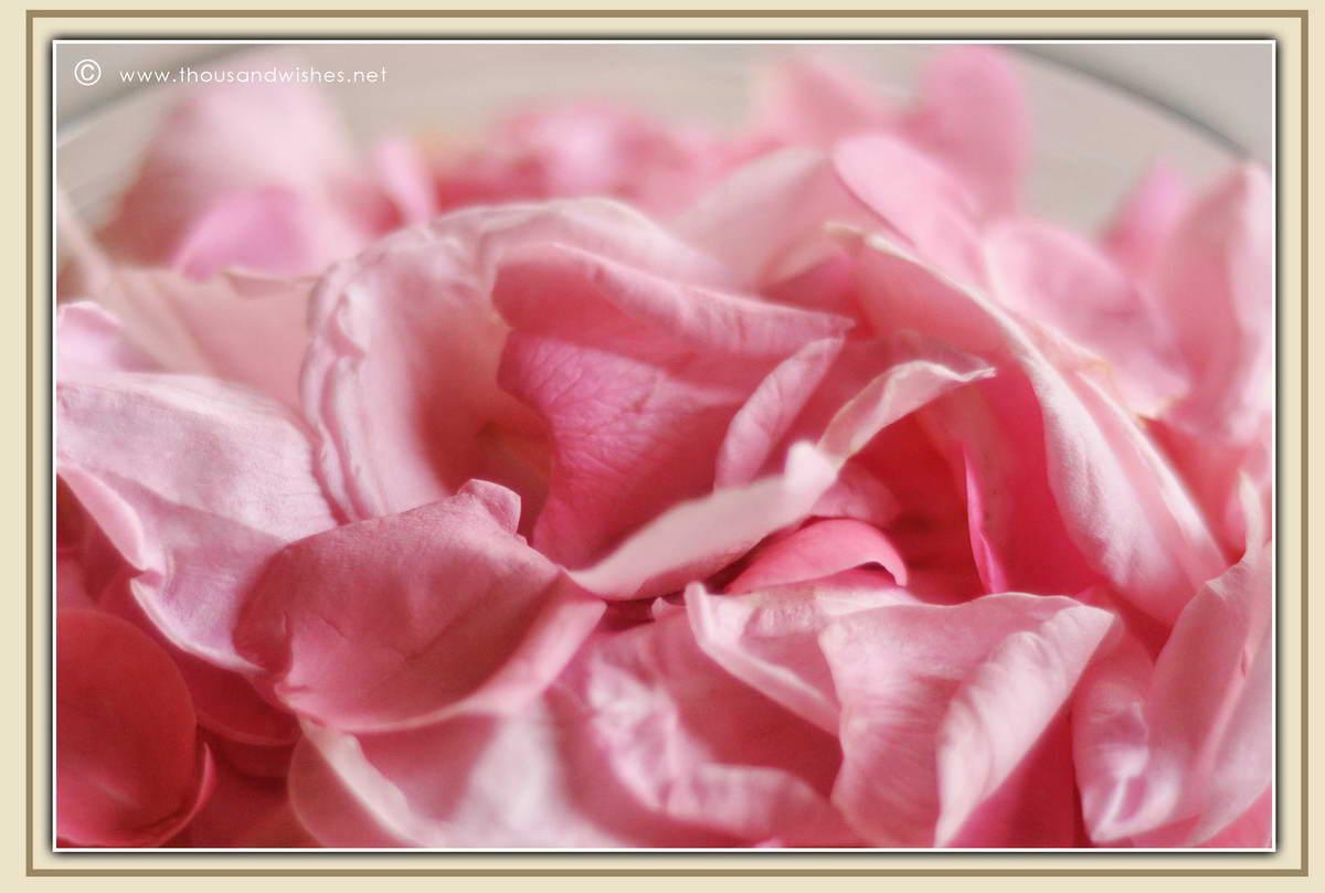 13_pink_roses_petal