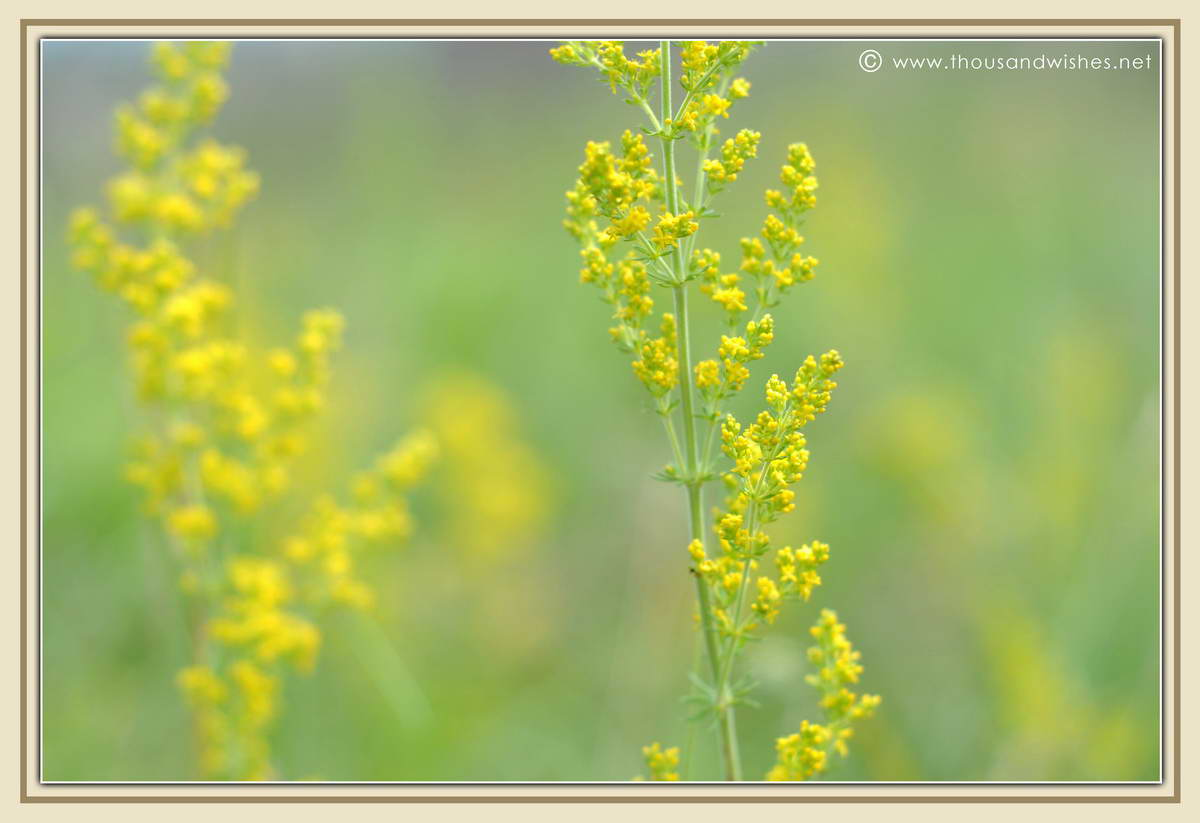 04_Lady's_Bedstraw_flowers
