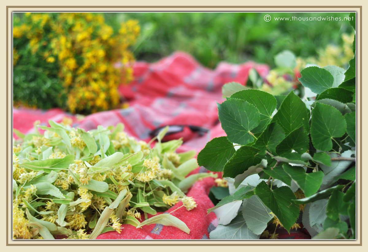 07_lime_flowers_St_John's_wort