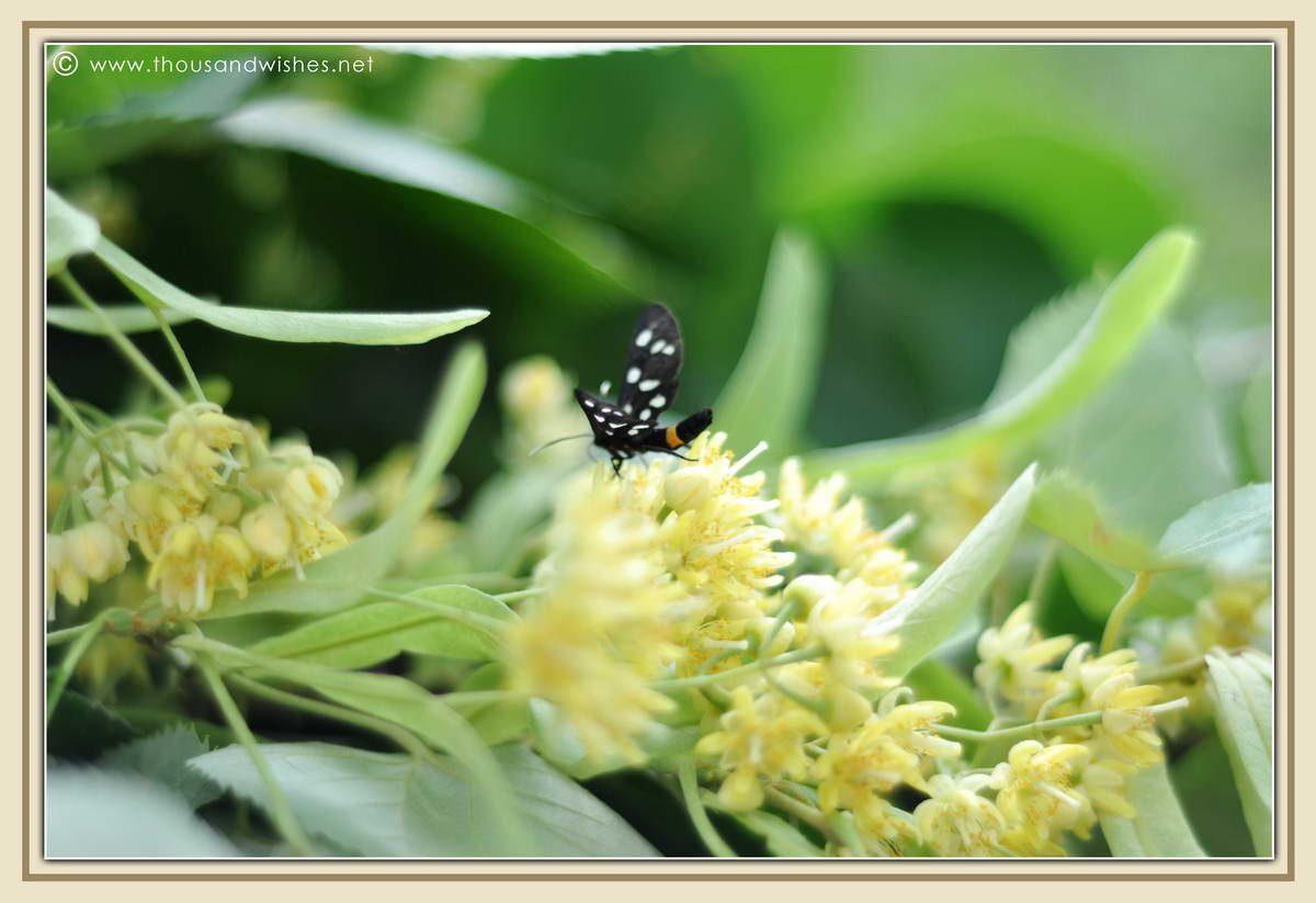 08_lime_flowers_butterfly