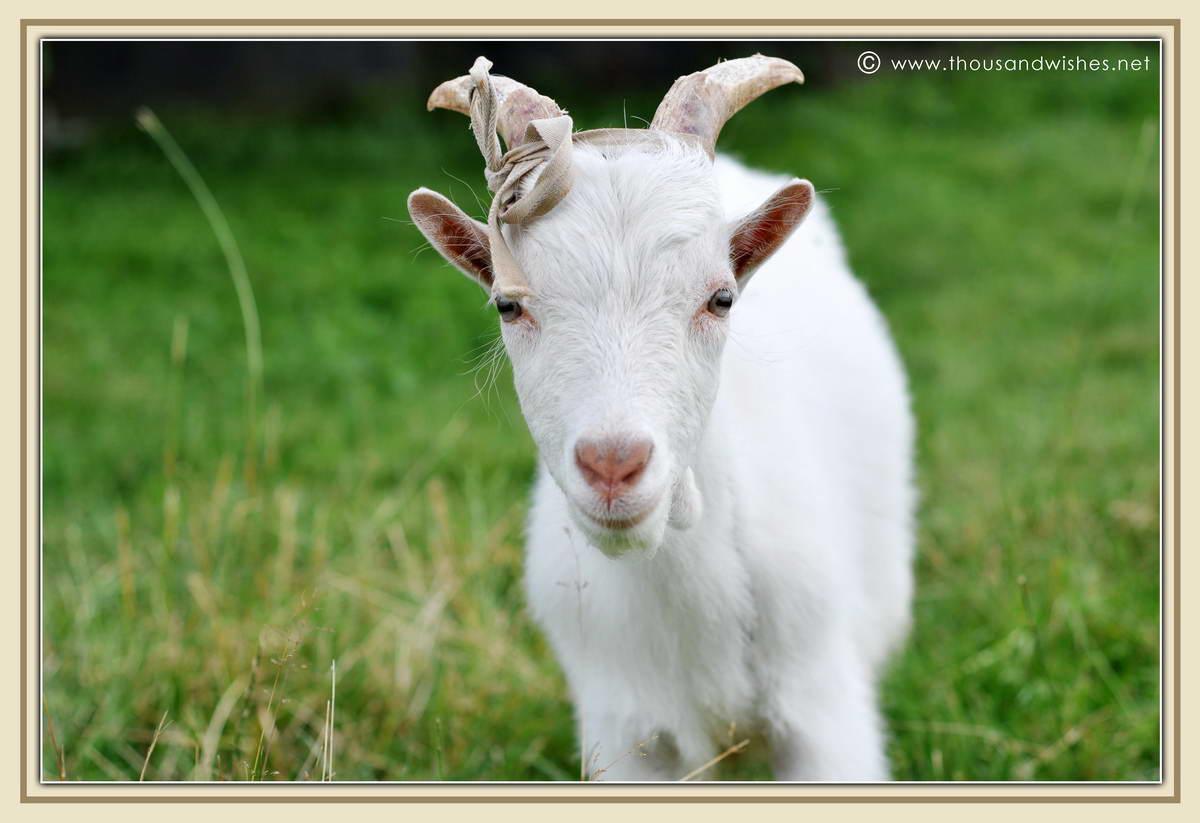 13_white_goat