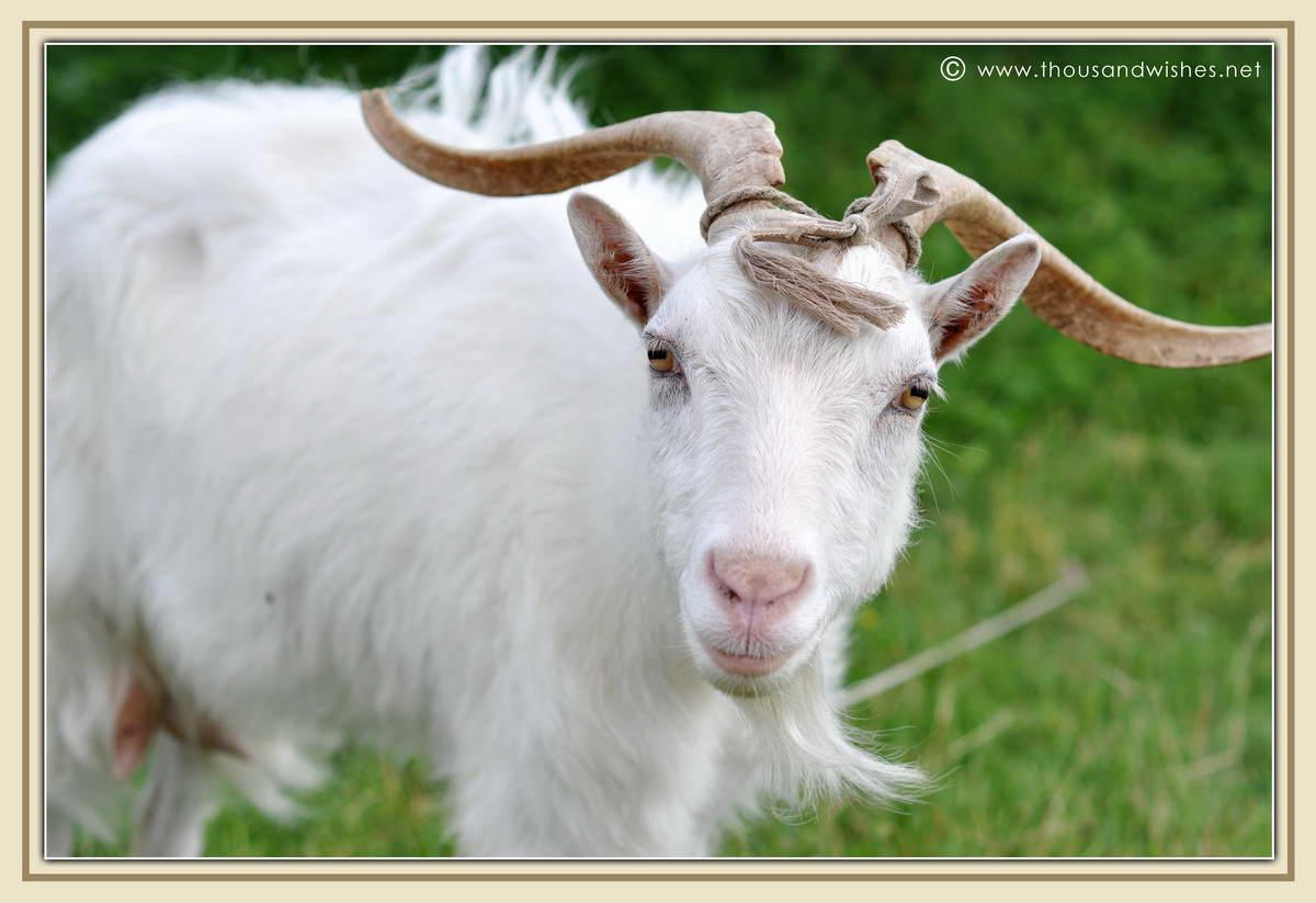 14_white_goat