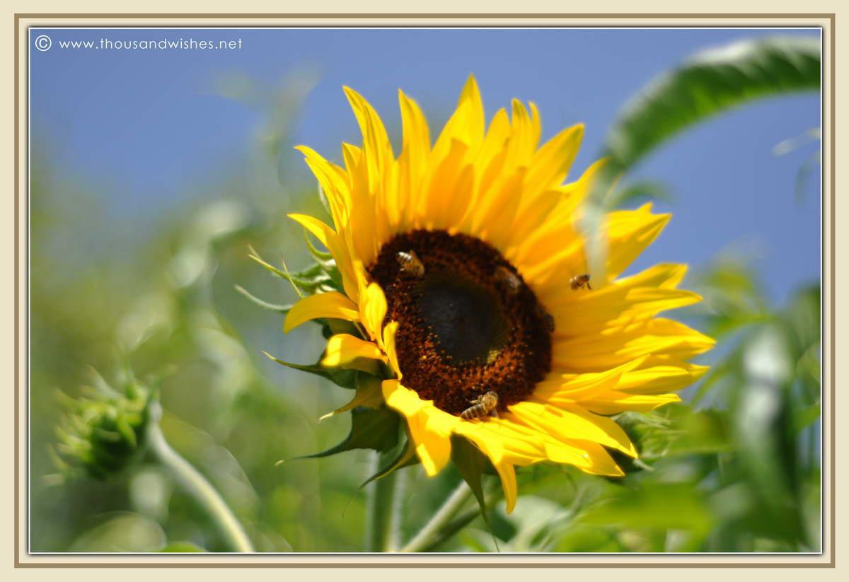 16_sun_flower