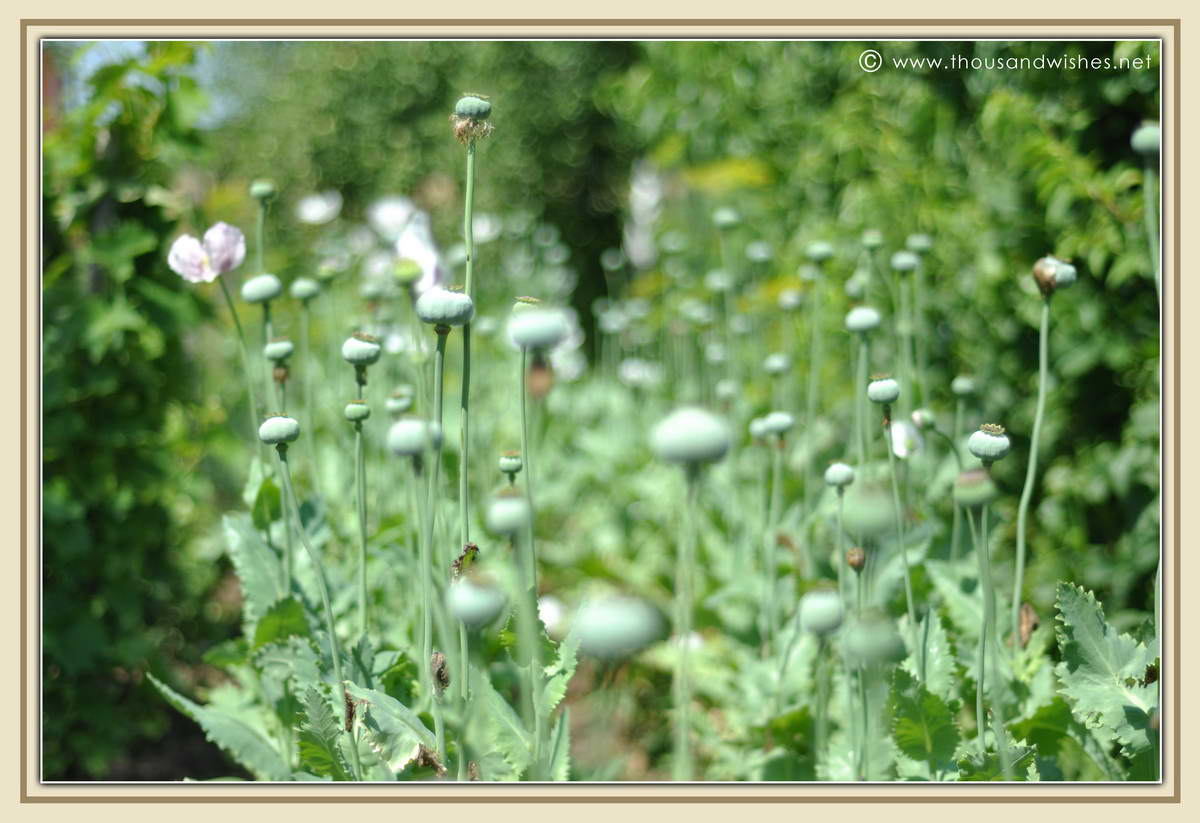 17_poppy_plant