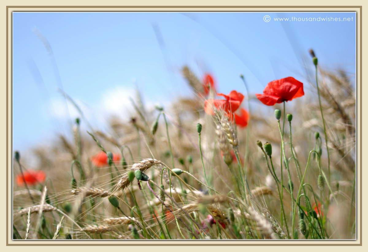 18_poppy_field