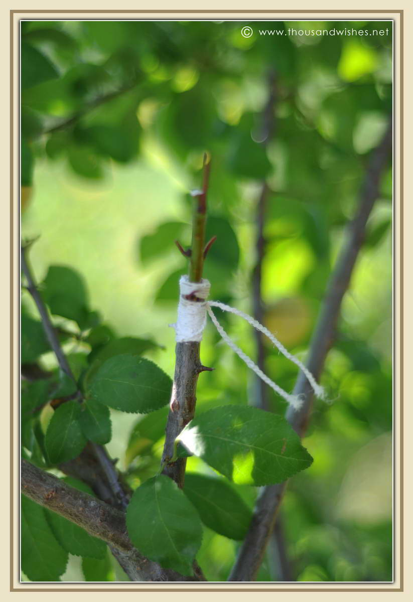 22_engraft_apricot_tree_in_plum_tree