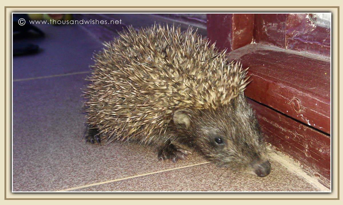 23_hedgehog