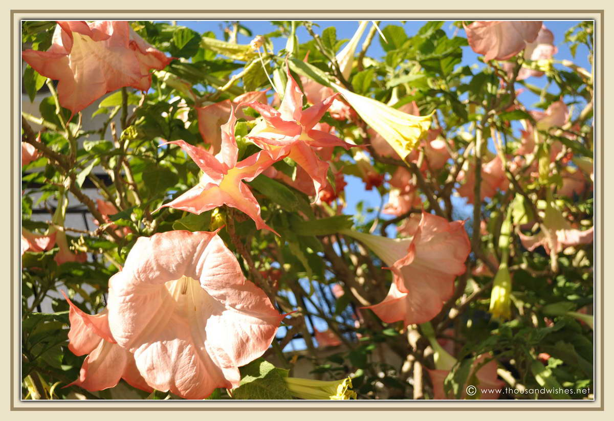 09_angels_trumpet_flowers