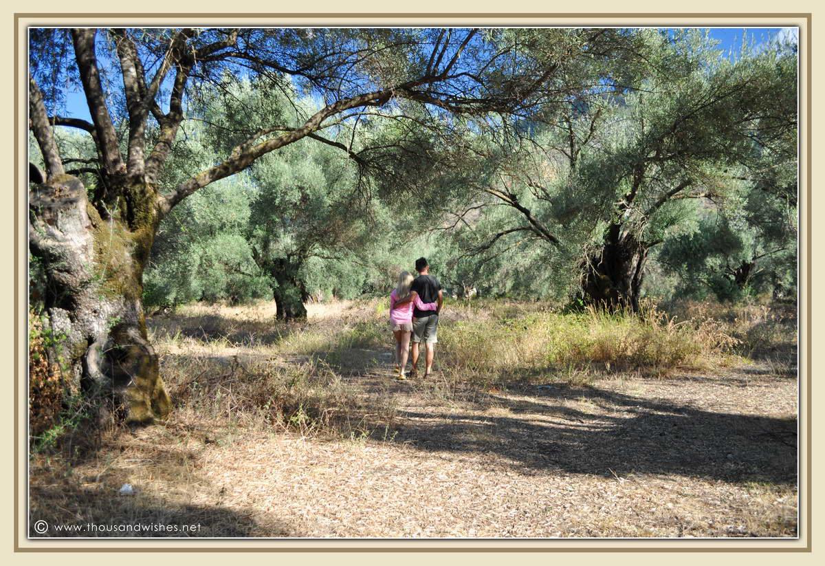 10_olives_orchard