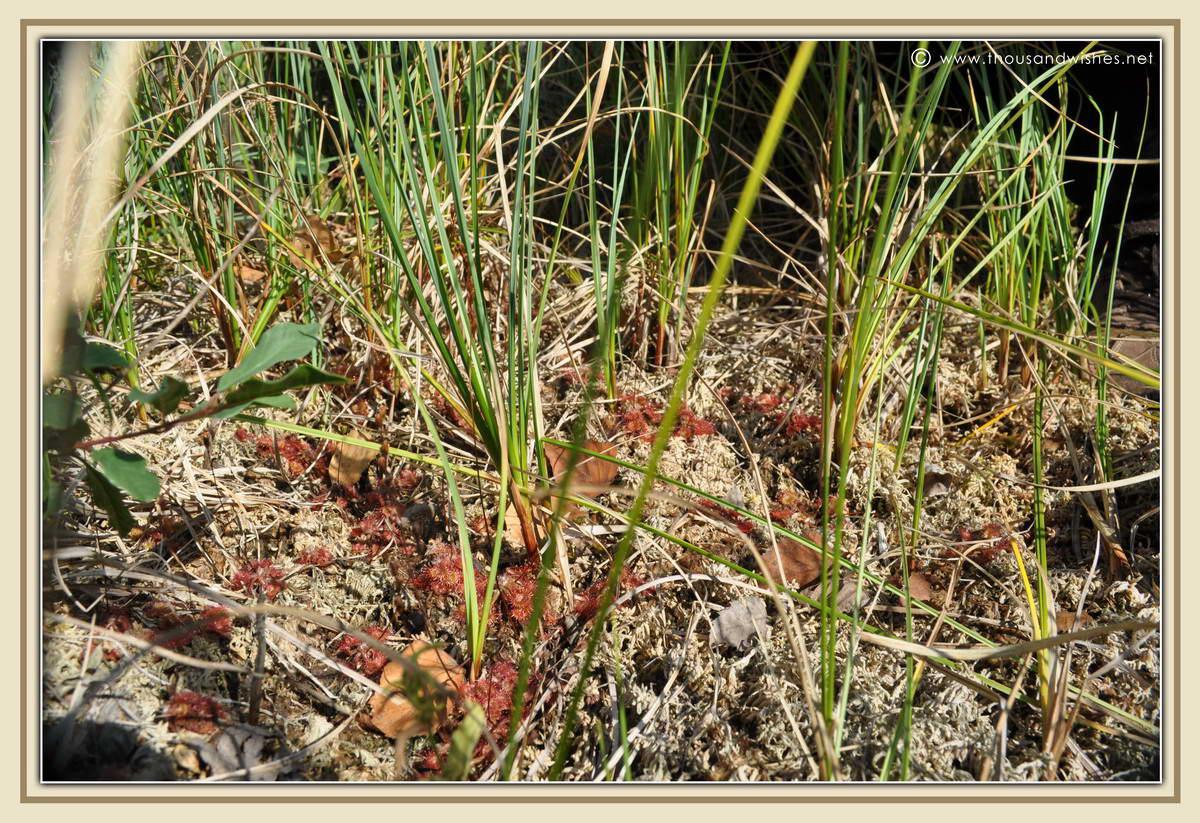 19_Drosera_rotundifolia_carnivorous_plant