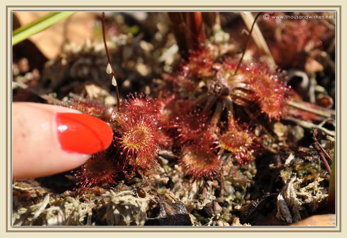 20_Drosera_rotundifolia_carnivorous_plant