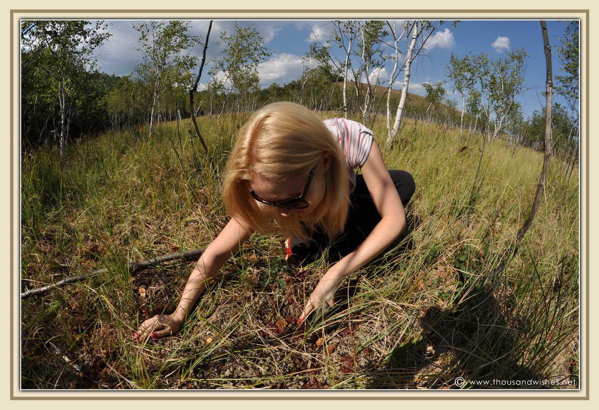 22_pesteana_Drosera_rotundifolia_carnivorous_plant