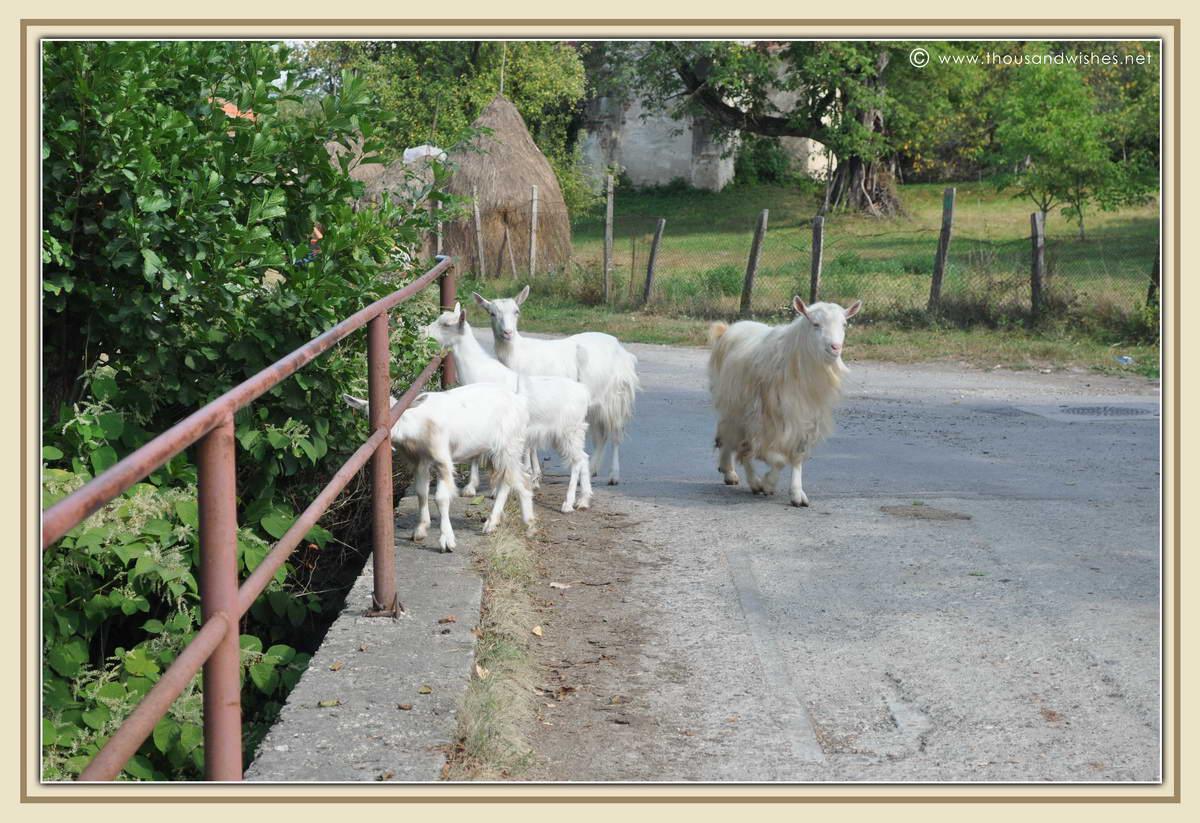 32_pesteana_goats