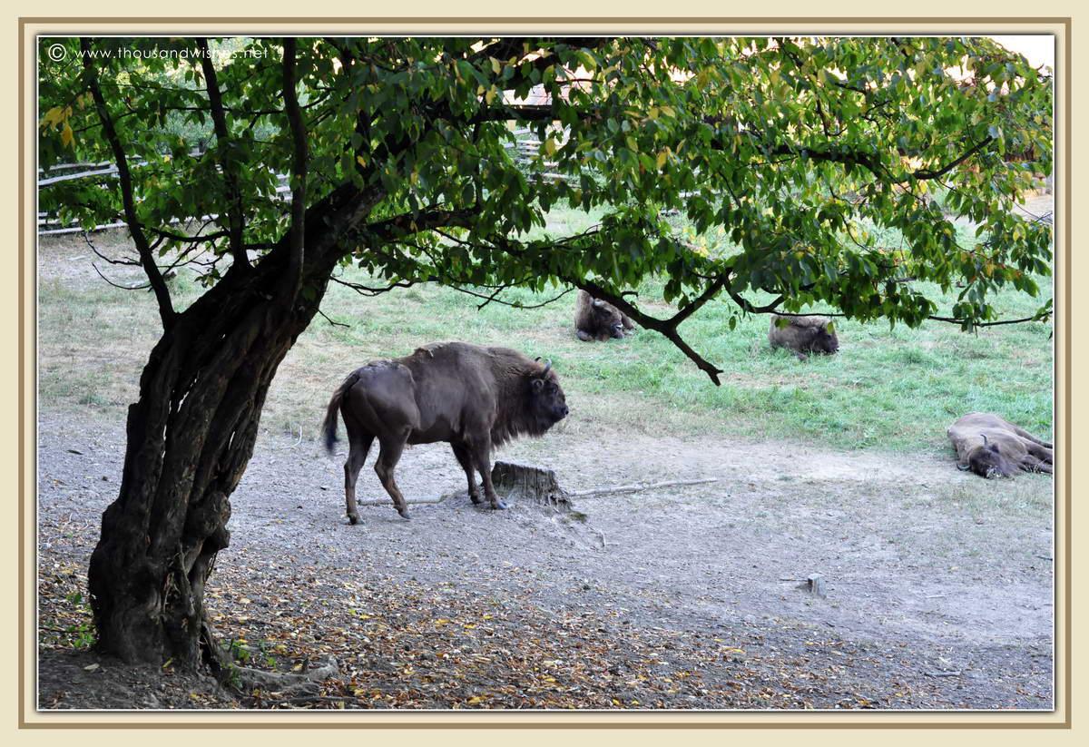36_Slivut_Bison_Reserve