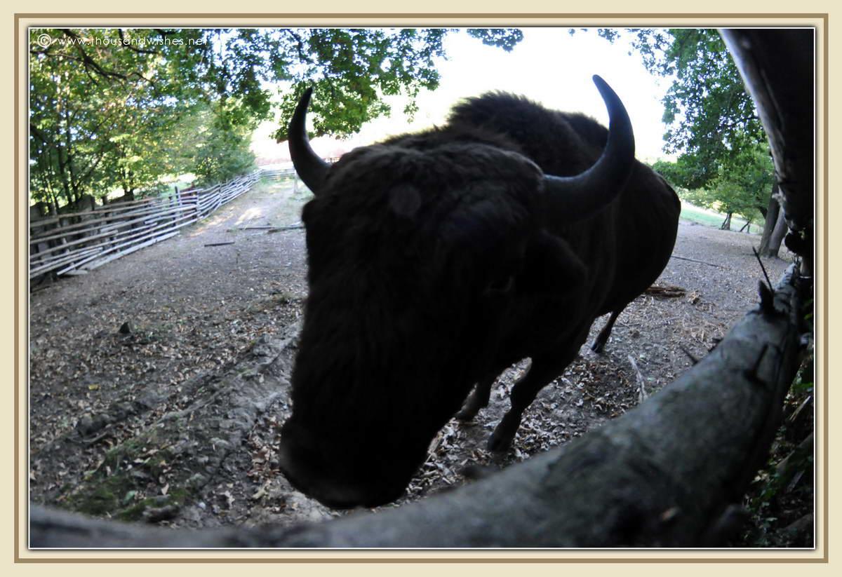 37_Slivut_Bison_Reserve